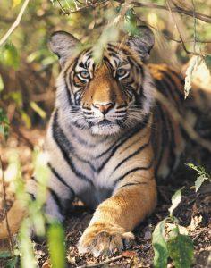 20 236x300 - Confira 5 motivos para fazer um safari na Índia!