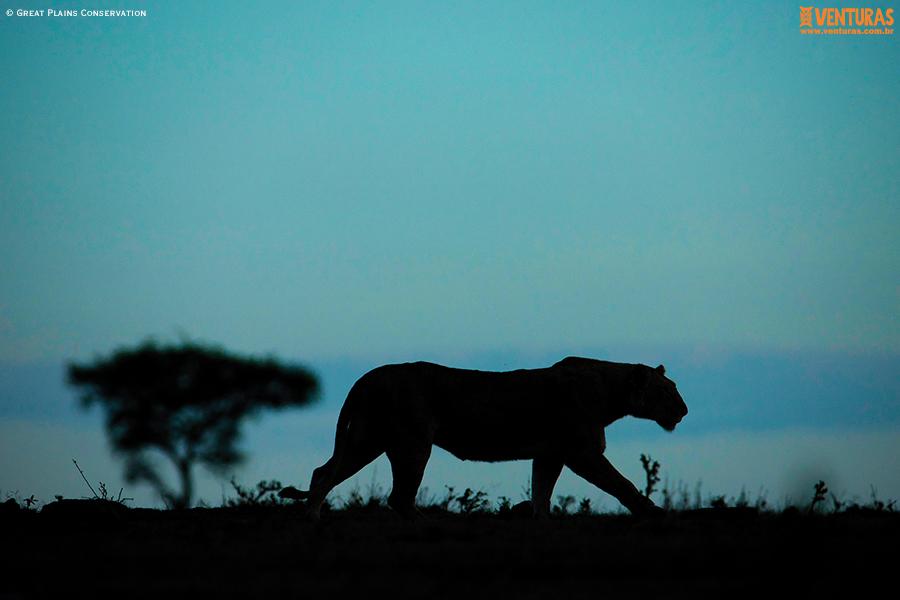 Kenya e Tanzânia Mara Plains Camp - Wildlife - Great Plains Conservation
