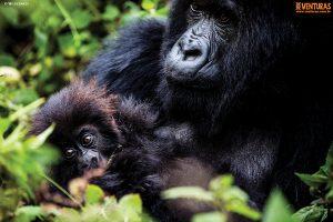 Ruanda e Uganda – Na terra dos gigantes